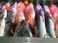 peixe-freco-canhao-3